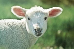 lamb-739165_640